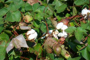 Cotton is a major cash crop of Sussex County