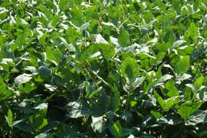 Soybeans are a major cash crop of Sussex County